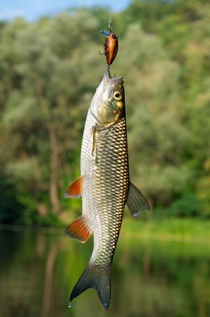 chub: chub caught on bait Stock Photo