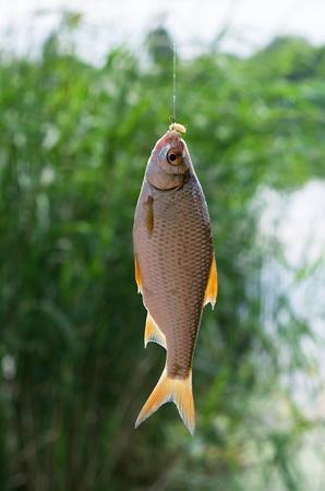 baited: roach caught on a fishing hook baited