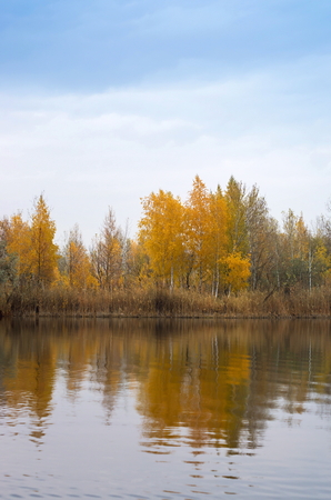 Birch on the lake in the fall