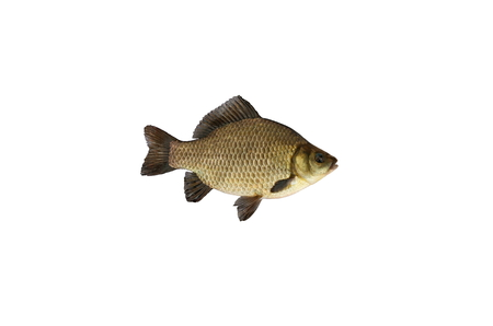 crucian fish isolated on white background