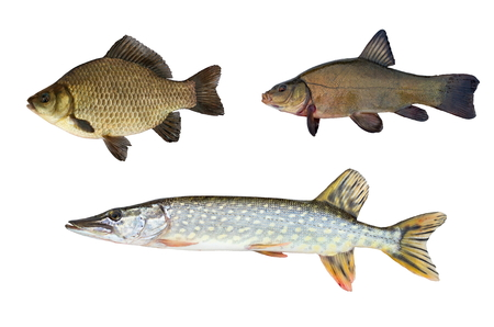 crucian: pike, tench and crucian carp isolated on white background