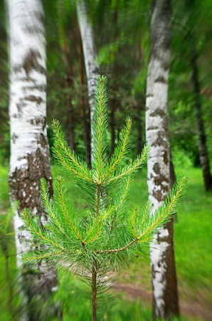 Young pine among the birches, the blur filter