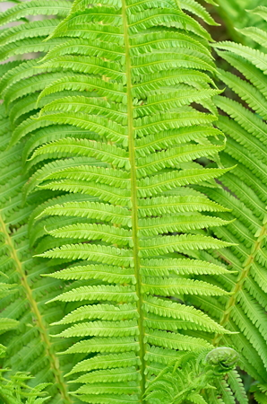 background of many green fern leaves decorative