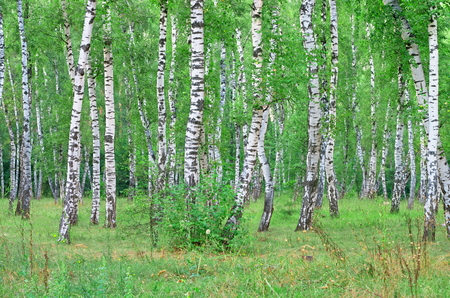 greenwood: Birch grove, summer day in the sun Stock Photo