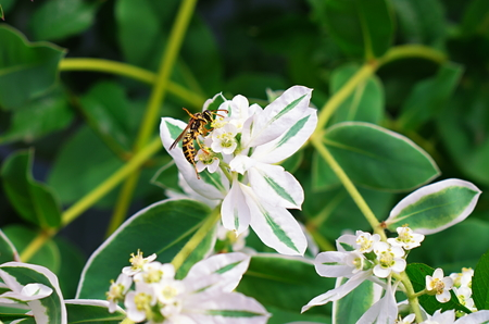 Wasp on a white flower poisonous milkweed stock photo picture and stock photo wasp on a white flower poisonous milkweed mightylinksfo
