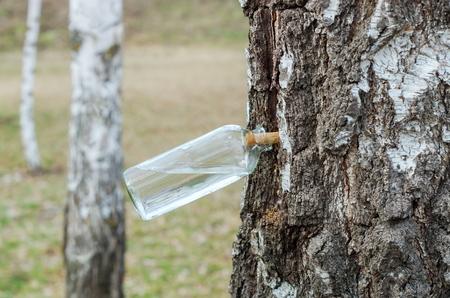 早春、白樺樹液のコレクション