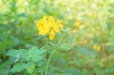 yellow celandine flower on a green background, sunlight