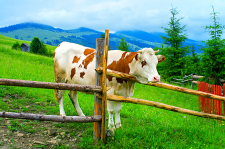 Cow behind the fence in a mountain meadow. Carpathians Ukraine Banque d'images - 114468080
