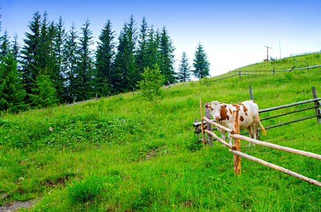 Cow behind the fence in a mountain meadow. Carpathians Ukraine Banque d'images - 114468088
