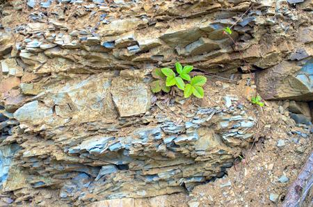 blackberry leaves on sedimentary rocks. Carpathians Ukraine