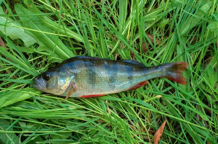 caught fish perch closeup lies on the green grass Banco de Imagens - 127571622