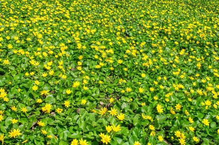 Field of yellow spring flowers and green leaves