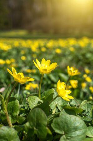 Yellow spring flowers close up, sunlight