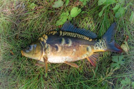 caught mirror carp on a background of grass