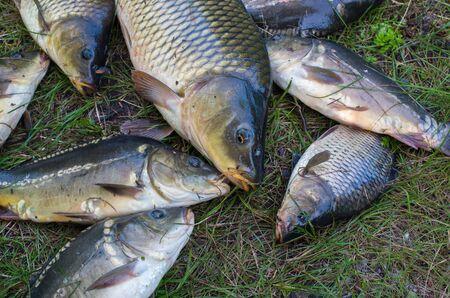 many carp fish on the grass