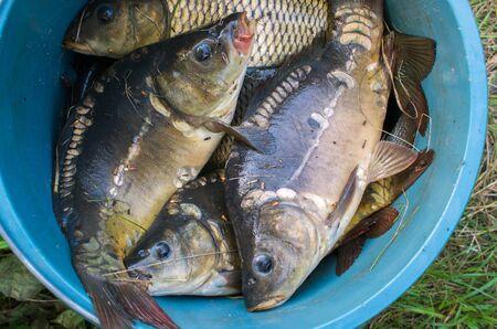 many fish carp in blue bucket