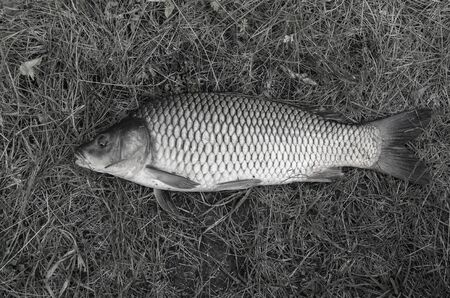 carp fish on the grass. sport fishing. black and white photo 免版税图像