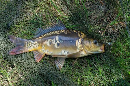 mirror carp on the background of the fishing net