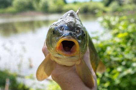 caught mirror carp in hand against the lake