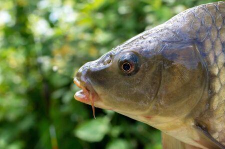 carp fish head close-ups. sport fishing