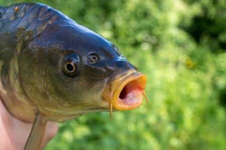 carp fish head close up on green background 免版税图像