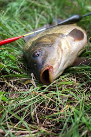 fish carp close-up. water bobber. sport fishing