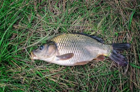 large carp fish caught in a lake in the grass