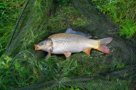 large carp fish caught in a lake in a fishing net