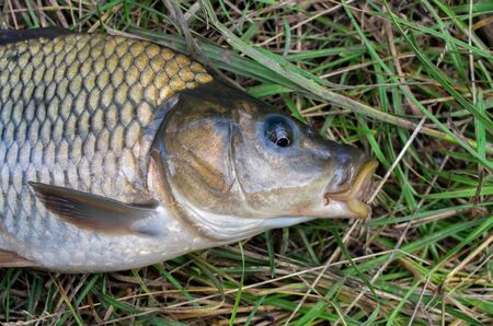 carp fish head caught in the lake close up 免版税图像