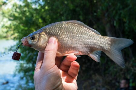 caught crucian in the hand of a fisherman 免版税图像
