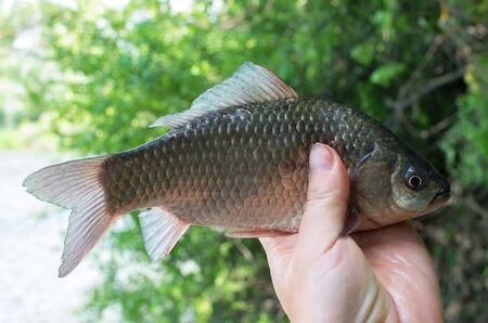 crucian carp caught in his hand fisherman