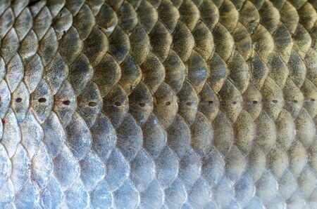 scales of carp closeup, background texture