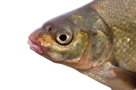 bream head close-up isolated on a white background