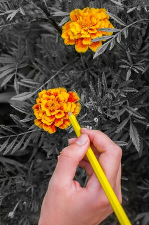 girl paints flowers Marigolds yellow pencil, black and white background