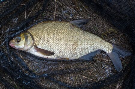 caught bream in a landing net, closeup