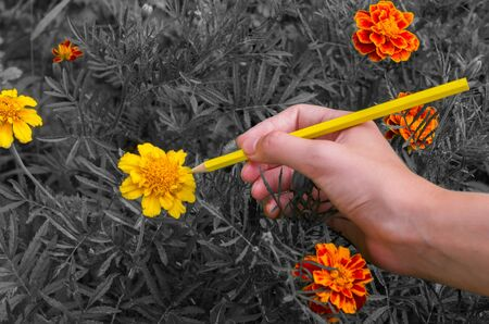 girl paints flowers Marigolds in orange color pencil, black and white background