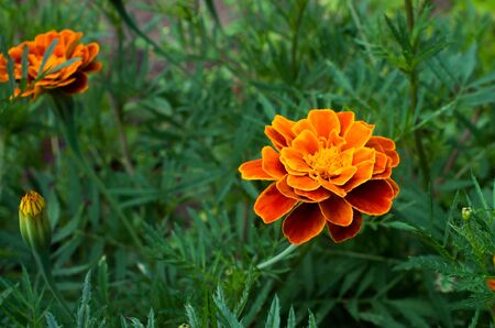 blooming marigolds on a flower bed close-up 免版税图像