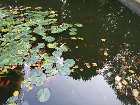 Carp Fish swims among water lily in the water slowly in the park Stok Fotoğraf