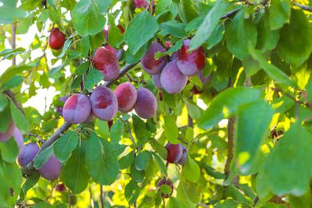 Plum branch with juicy fruits ,sunlight,plum garden.