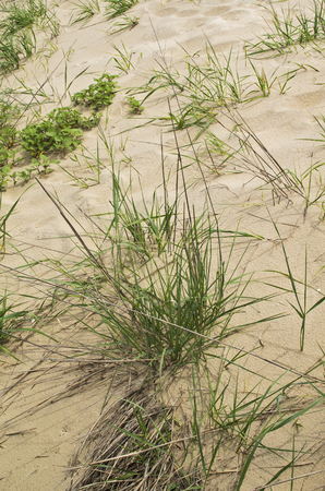 Dune grass is placed along the shoreline in Bethany Beach Delaware to control beach erosion.