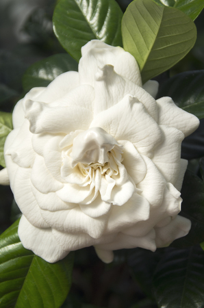 A Gardenia Blossom sends its sweet fragrance into the greenhouse on the grounds of the Biltmore Estates in Asheville , North Carolina