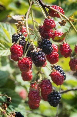 Blackberries hanging on the vine ripening in the summer sun