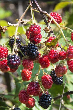 Blackberries ready for picking Stockfoto