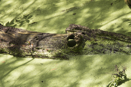 A stump resembling an Alligator rests in a swampy area of the Goose Neck State Park in North Carolina Stockfoto