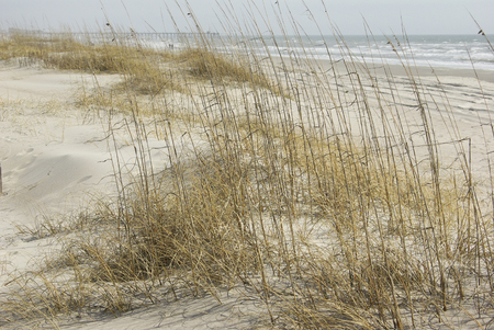 Dune Grass sways in the wind on a mild Feb. day in Eastern North Carolina