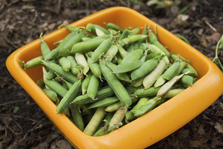 A full basket from the first harvest of spring peas. Stockfoto