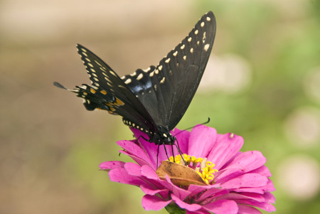 A Black Swallowtail butterflr feeding on a Zinnia blossom in a garden in North Carolina Stockfoto