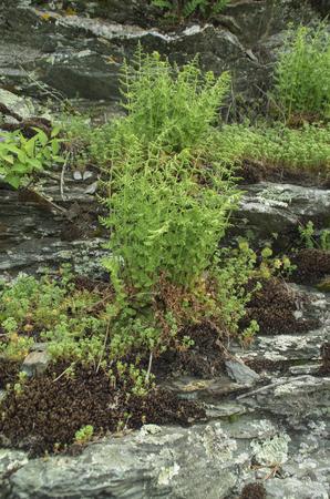A Fern breaks free and is growing on a Rock Ledge in New Port,Rhode Island
