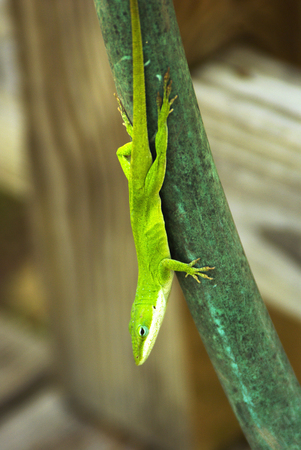 A Green Lizard warms itself hanging on a garden hose on a warm spring day