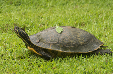 A Turtle crawls across a lawn headed for home at a house in New Bern,North Carolina